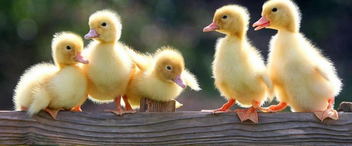 spring-chicks-wallpaper-hq-desktop-wallpapers-spring-wallpaper-animals-